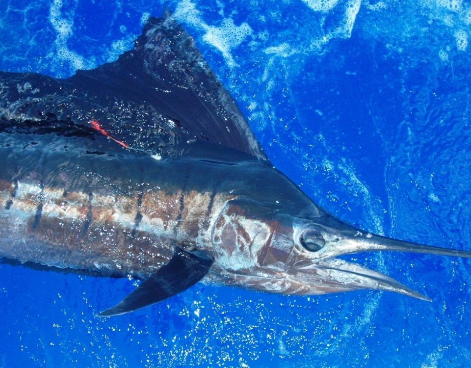 Sailfish tagged and released - Rod Fishing Club - Rodrigues Island - Mauritius - Indian Ocean