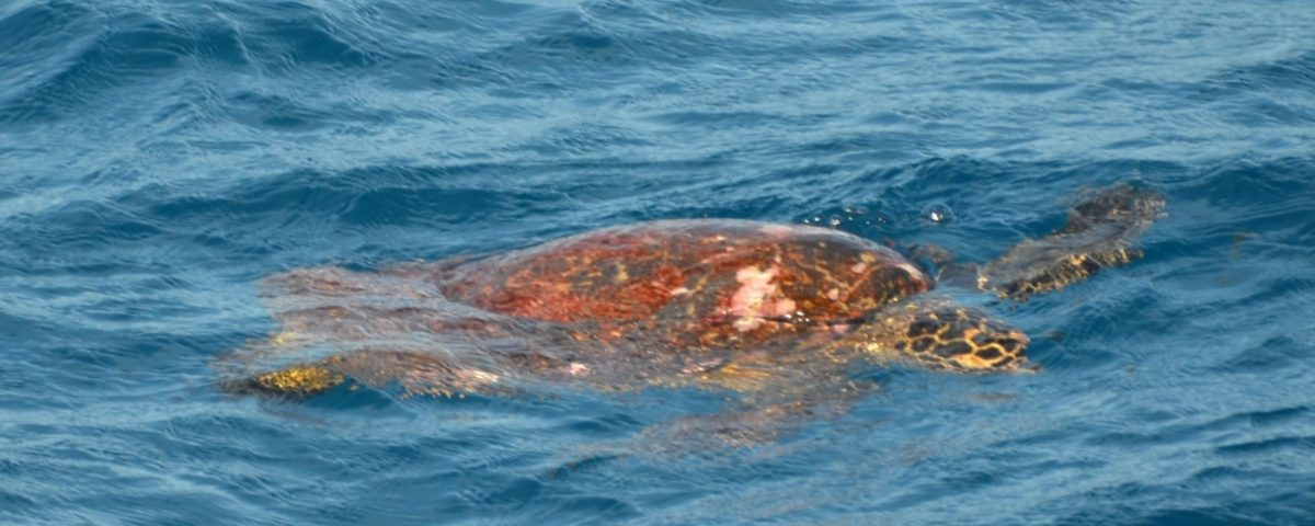 Tortue sur le Banc de l'Est - Rod Fishing Club - Ile Rodrigues - Maurice - Océan Indien