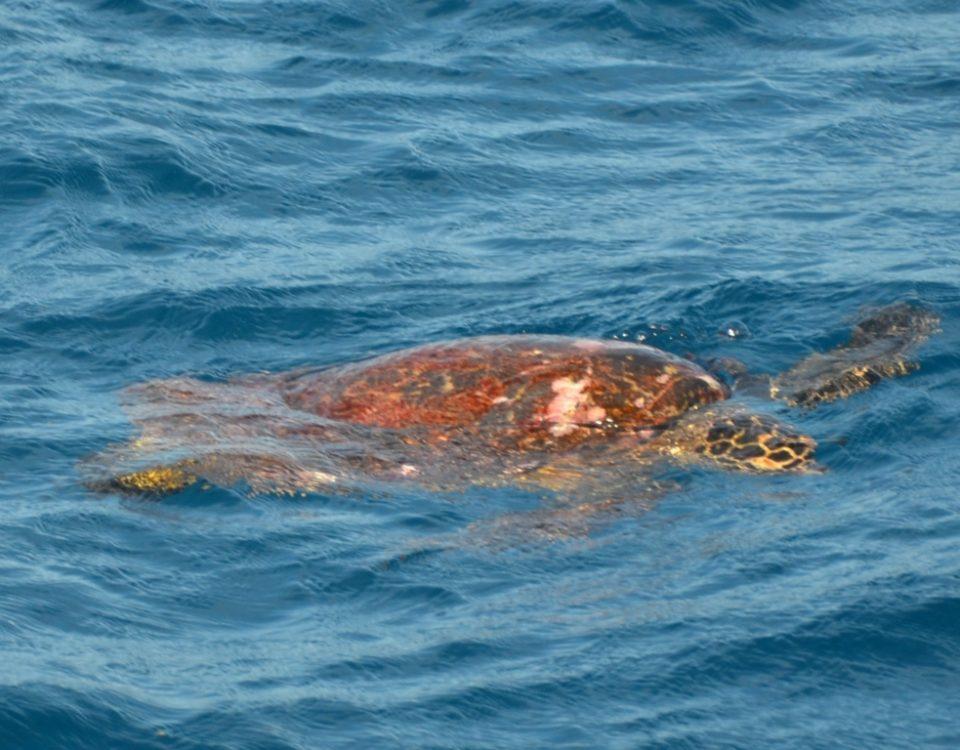 Turtle on the Eastern Bank Rodrigues Island - Rod Fishing Club - Rodrigues Island - Mauritius - Indian Ocean