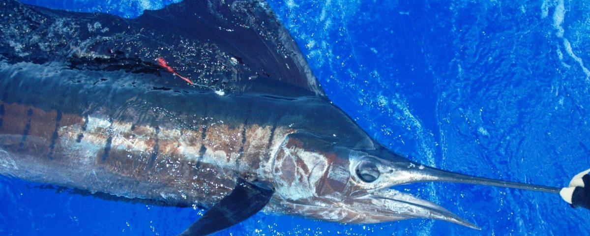 Voilier taggé et relâché - Rod Fishing Club - Ile Rodrigues - Maurice - Océan Indien