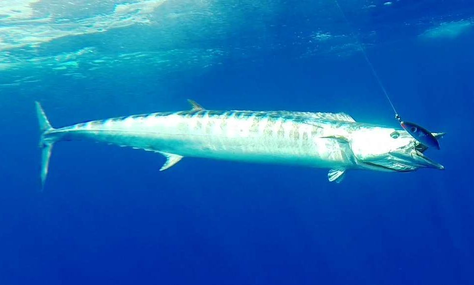 Wahoo on stick bait - Rod Fishing Club - Rodrigues Island - Mauritius - Indian Ocean
