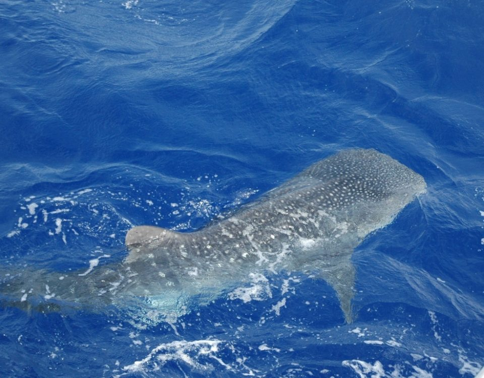 Whale shark in Rodrigues - Rod Fishing Club - Rodrigues Island - Mauritius - Indian Ocean