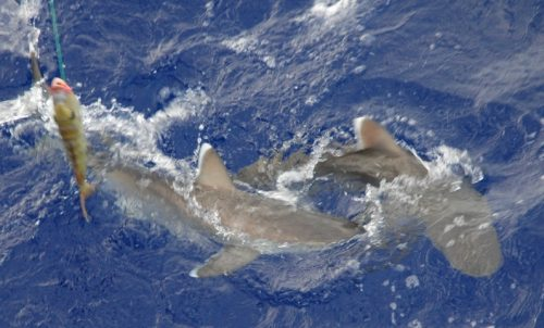 Whitetip sharks close to the boat - Rod Fishing Club - Rodrigues Island - Mauritius - Indian Ocean