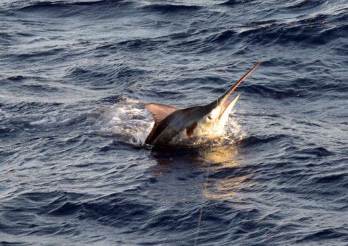 black-marlin-jumping-rod-fishing-club-rodrigues-island-mauritius-indian-ocean