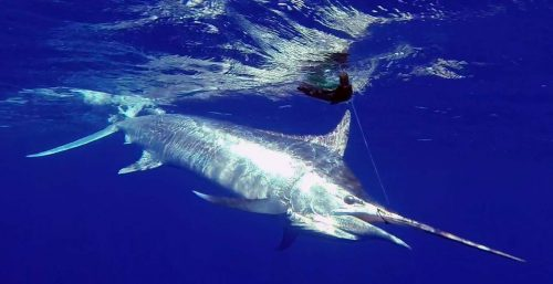 black-marlin-on-leader-caught-on-trolling-rod-fishing-club-rodrigues-island-mauritius-indian-ocean