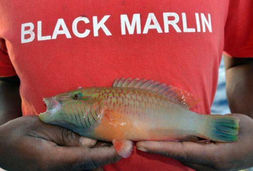 labre-pris-en-palangrotte-rod-fishing-club-rodrigues-ile-maurice-ocean-indien