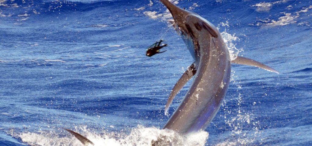 marlin-noir-au-bas-de-ligne-en-peche-a-la-traine-rod-fishing-club-rodrigues-ile-maurice-ocean-indien
