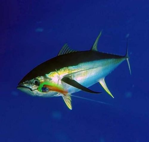 thon-jaune-au-bas-de-ligne-rod-fishing-club-rodrigues-ile-maurice-ocean-indien