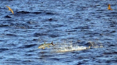 yellowfin-tuna-hunting-on-the-eastern-bank-rod-fishing-club-rodrigues-island-mauritius-indian-ocean