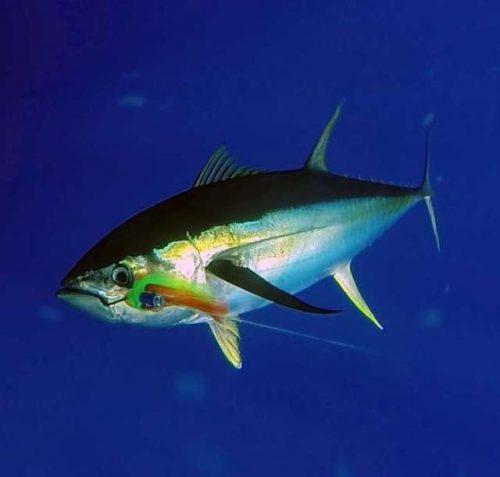 yellowfin-tuna-on-leader-rod-fishing-club-rodrigues-island-mauritius-indian-ocean
