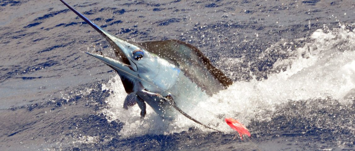 70kg-blue-marlin-jumping-caught-on-trolling-rod-fishing-club-rodrigues-island-mauritius-indian-ocean