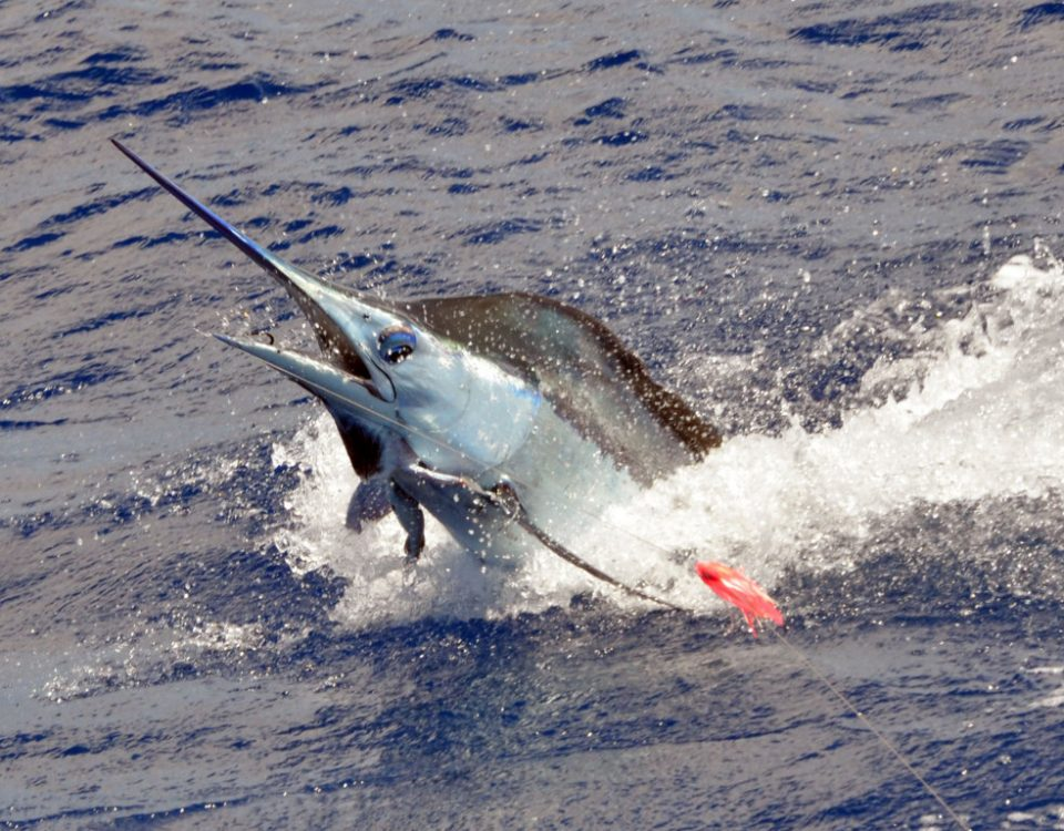 70kg-blue-marlin-jumping-caught-on-trolling-rod-fishing-club-rodrigues-island-mauritius-indian-ocean