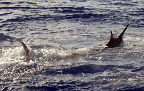 a-big-black-marlin-on-livebaiting-rod-fishing-club-rodrigues-island-mauritius-indian-ocean
