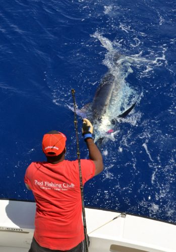 blue-marlin-on-leader-rod-fishing-club-rodrigues-island-mauritius-indian-ocean