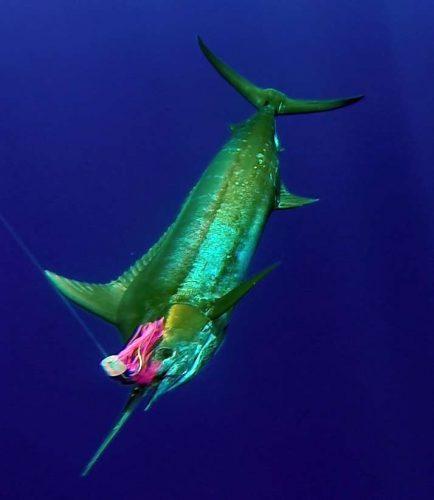 marlin-bleu-de-80kg-environ-au-bateau-rod-fishing-club-ile-rodrigues-maurice-ocean-indien