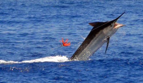 marlin-noir-sauteur-pris-en-peche-a-la-traine-rod-fishing-club-ile-rodrigues-maurice-ocean-indien