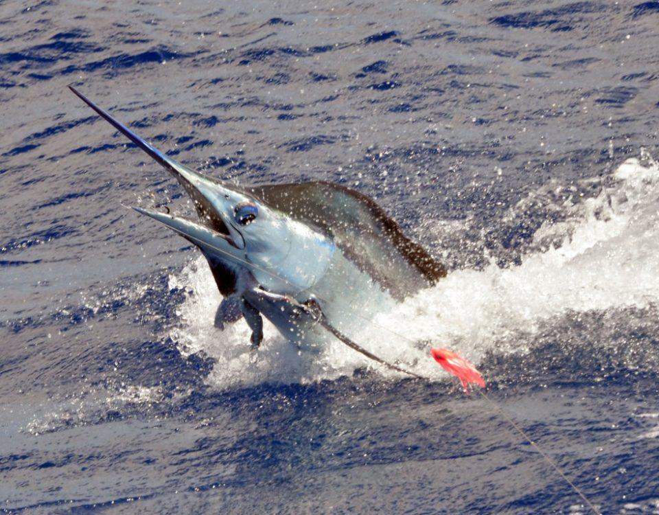 saut-de-marlin-bleu-pique-en-peche-a-la-traine-rod-fishing-club-ile-rodrigues-maurice-ocean-indien