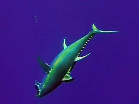 thon-jaune-pris-en-peche-a-la-traine-avec-un-speed-pro-deep-rod-fishing-club-ile-rodrigues-maurice-ocean-indien