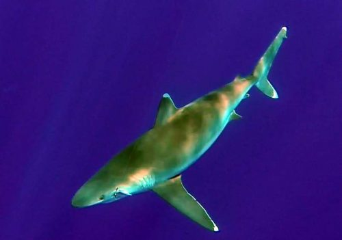 whitetip-shark-by-philippe-on-jigging-rod-fishing-club-rodrigues-island-mauritius-indian-ocean