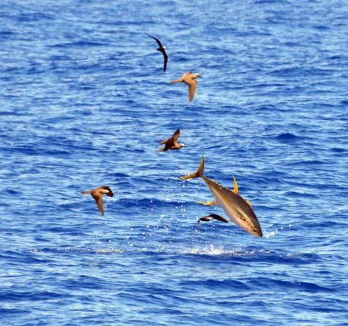 yellowfin-tuna-jumping-on-the-eastern-bank-rod-fishing-club-rodrigues-island-mauritius-indian-ocean