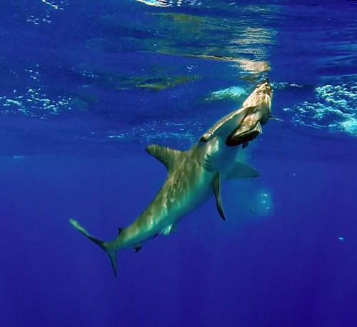 Requin marteau attaquant un appât - www.rodfishingclub.com - Ile Rodrigues - Maurice - Océan Indien