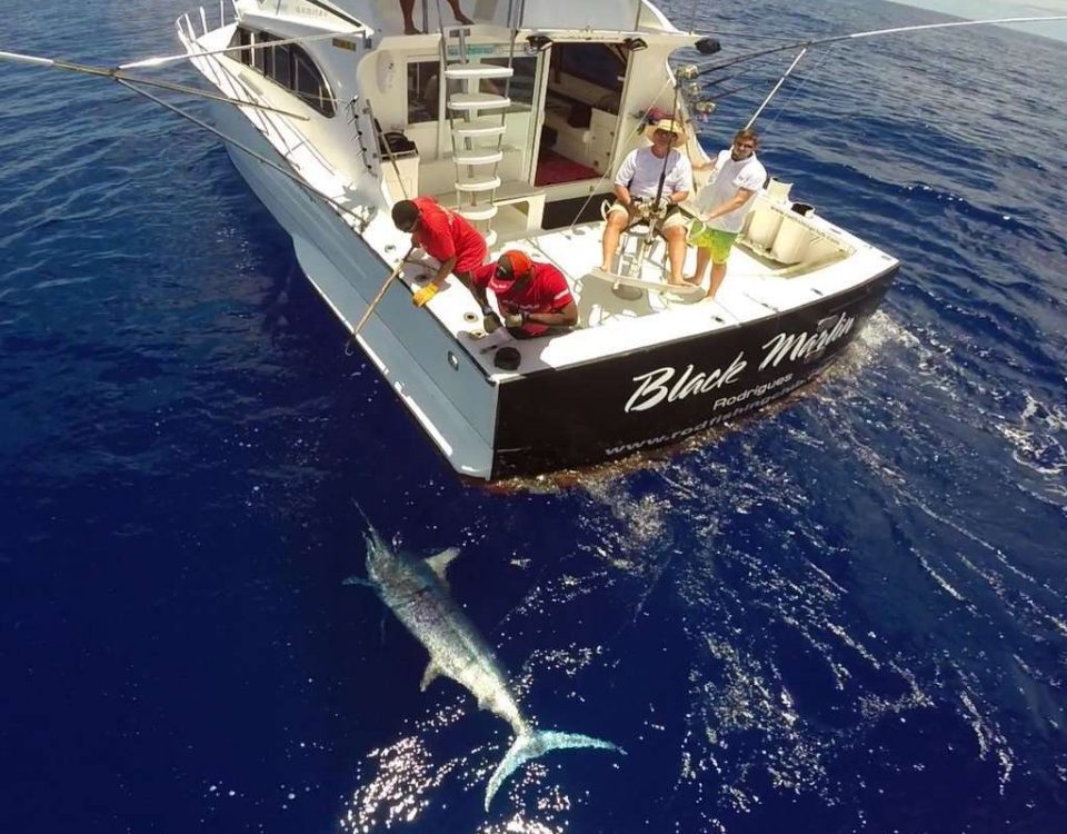 400lbs black marlin on leader before releasing - www.rodfishingclub.com - Mauritius - Indian Ocean