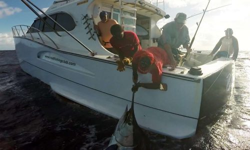 450lbs blue marlin on leader before releasing - Rod Fishing Club - Rodrigues Island - Mauritius - Indian Ocean