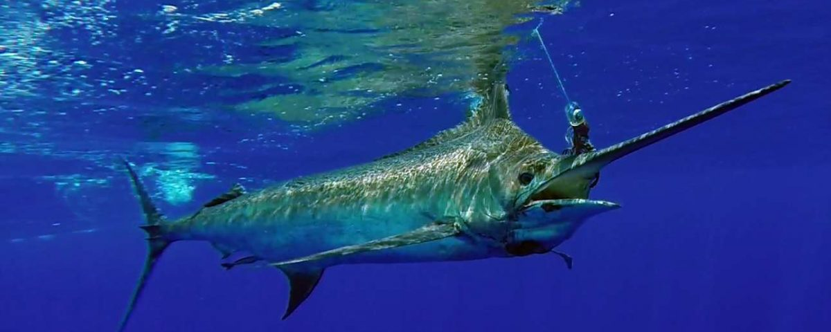 450lbs blue marlin on trolling before releasing - www.rodfishingclub.com - Mauritius - Indian Ocean