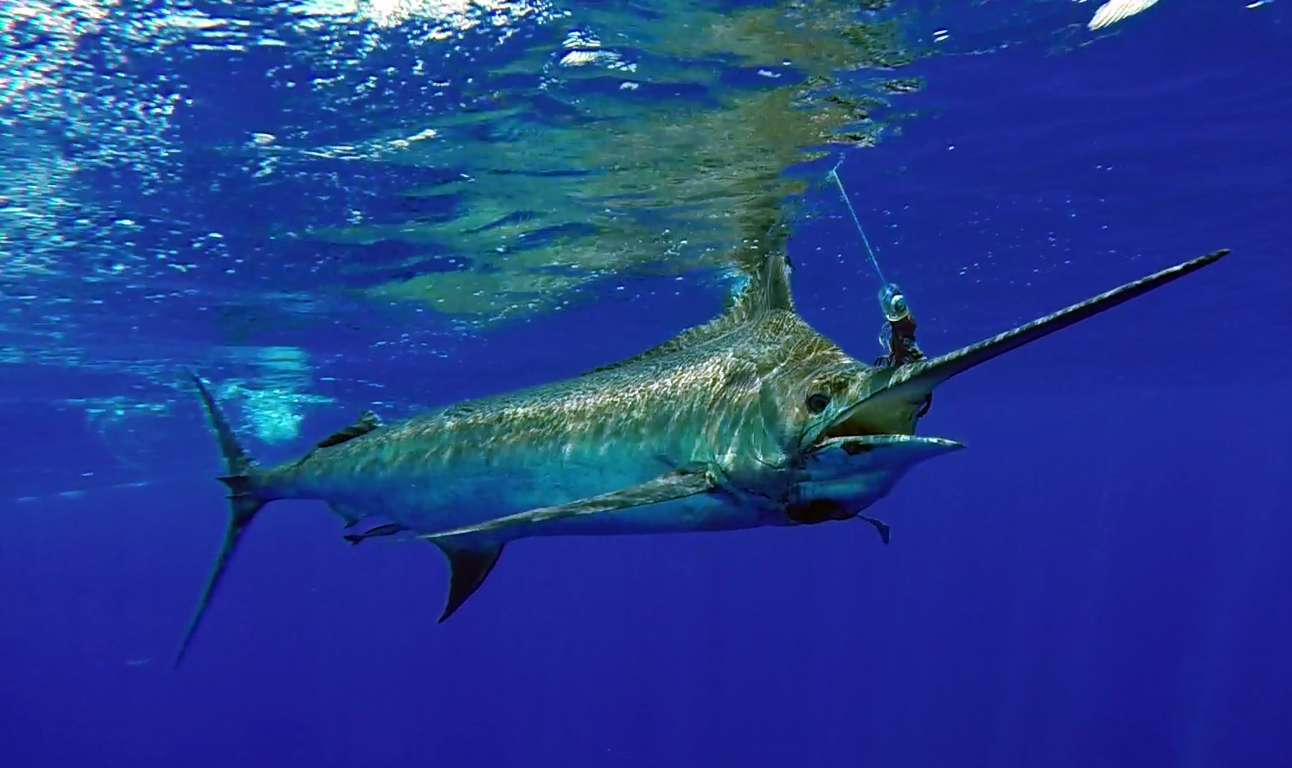 Marlin (Blue) - varieties of fishing techniques