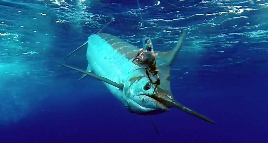450lbs blue marlin released on trolling - Rod Fishing Club - Rodrigues Island - Mauritius - Indian Ocean