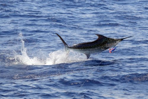 Blue marlin jumping on trolling - www.rodfishingclub.com - Rodrigues Island - Mauritius - Indian Ocean