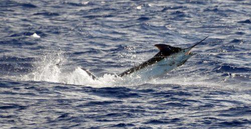 Marlin bleu de 120kg en plein saut pris en pêche a la traîne avant d'être relâché - www.rodfishingclub.com - Ile Rodrigues - Maurice - Océan Indien