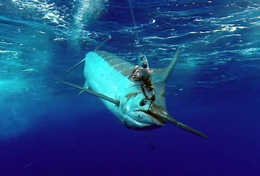 Marlin bleu de plus de 200kg au bateau pris en pêche a la traîne par Philippe avant la relâche - www.rodfishingclub.com - Ile Rodrigues - Maurice - Océan Indien