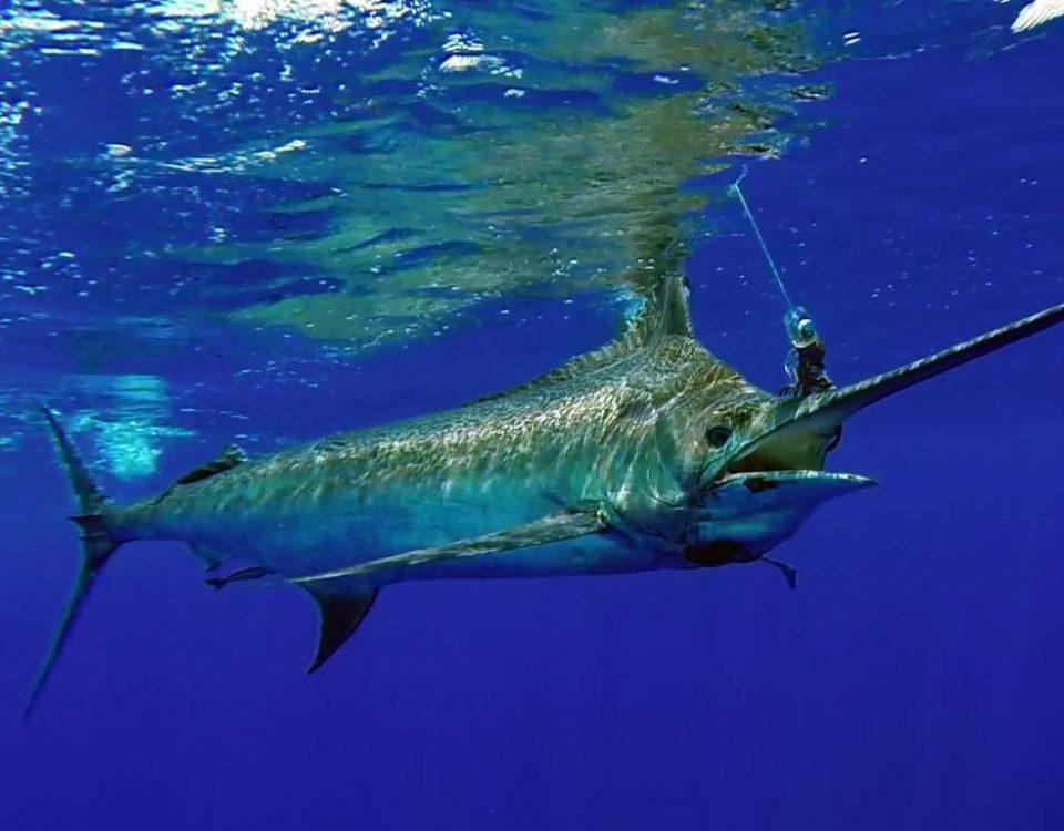 Marlin bleu de plus de 200kg avant relâche - www.rodfishingclub.com - Maurice - Océan Indien