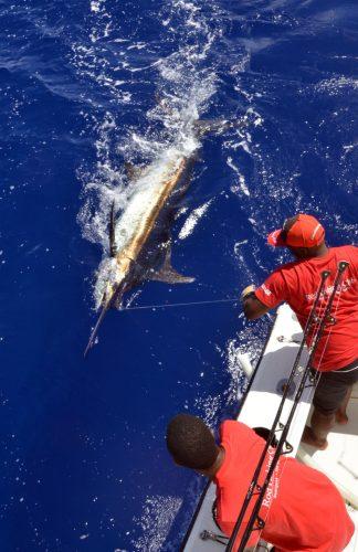 Marlin noir de 200kg avant relâche - www.rodfishingclub.com - Maurice - Océan Indien