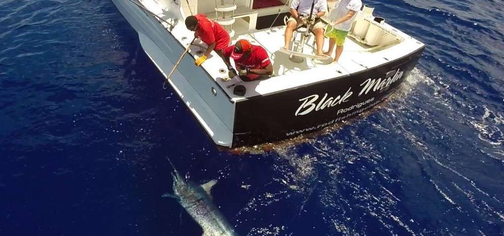 Marlin noir de plus de 200kg vu d'un drône - www.rodfishingclub.com - Maurice - Océan Indien