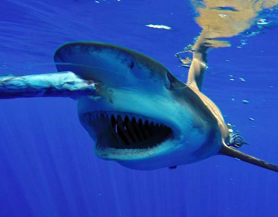 Oceanic Whitetip Shark feeding - www.rodfishingclub.com - Rodrigues Island - Mauritius - Indian Ocean