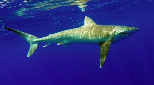 Whitetip shark on livebaiting - www.rodfishingclub.com - Mauritius - Indian Ocean