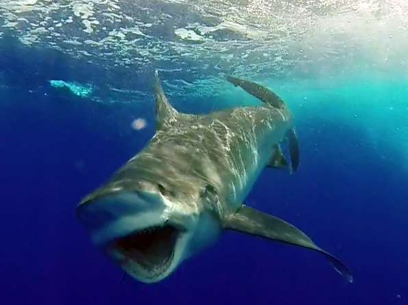 Big white tip shark caught on baiting before releasing - www.rodfishingclub.com - Rodrigues Island - Mauritius - Indian Ocean