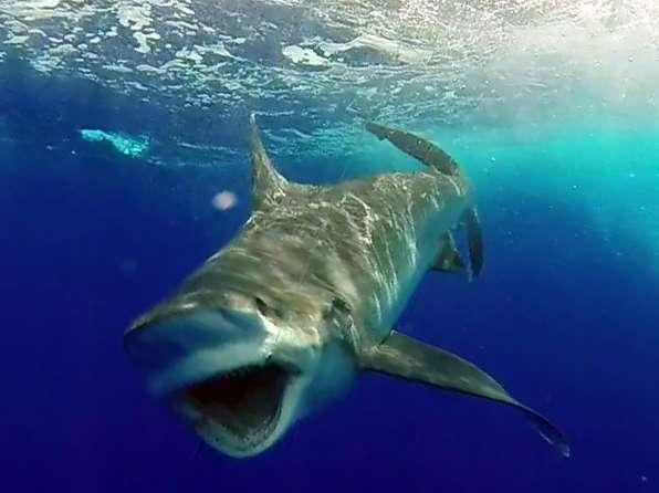 Gros requin pointe blanche pris en pêche a l'appât avant la relâche - www.rodfishingclub.com - Ile Rodrigues - Maurice - Océan Indien