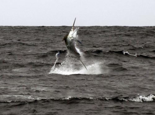 350lbs Black Marlin jumping caught on trolling - www.rodfishingclub.com - Rodrigues Island - Mauritius - Indian Ocean