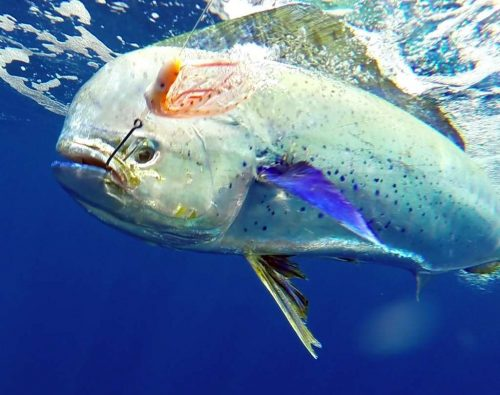 Dorade prise en pêche a la traîne par Jean Philippe - www.rodfishingclub.com - Ile Rodrigues - Maurice - Océan Indien