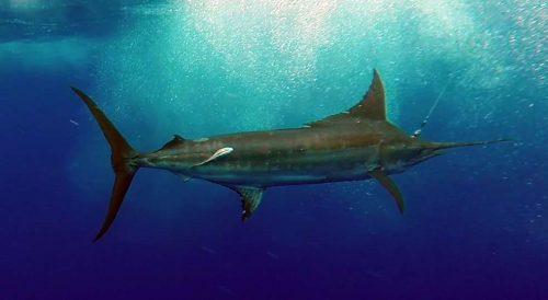 Marlin bleu pris en pêche a la traine avant la relâche - www.rodfishingclub.com - Ile Rodrigues - Maurice - Océan Indien