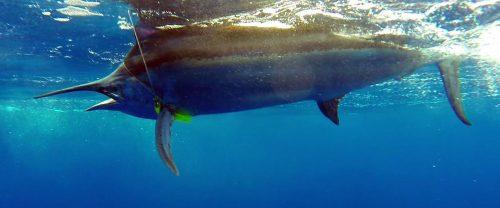 Marlin noir arrivant au bas de ligne pris en pêche a la traîne - ww.rodfishingclub.com - Ile Rodrigues - Maurice - Océan Indien