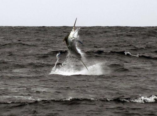 Marlin noir en plein saut pris en pêche a la traine - www.rodfishingclub.com - Ile Rodrigues - Maurice - Océan Indien