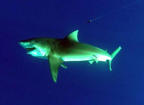 Requin bouledogue de 150kg pris en pêche au vif et relâché - ww.rodfishingclub.com - Ile Rodrigues - Maurice - Océan Indien