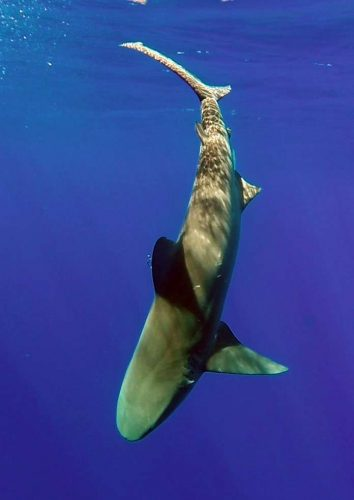 Requin bouledogue de 500lbs relâché - www.rodfishingclub.com - Ile Rodrigues - Maurice - Océan Indien