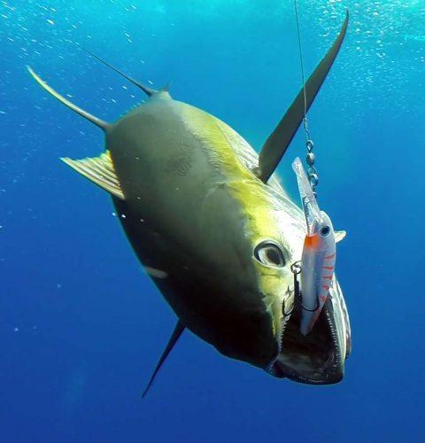 Thon jaune en pêche a la traine sur un Rapala X Rap 40 - www.rodfishingclub.com - Ile Rodrigues - Maurice - Océan Indien