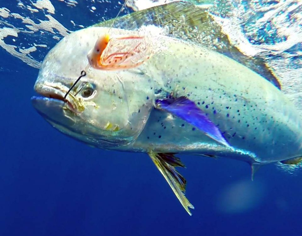 Underwater dorado on trolling by Jean Philippe - www.rodfishingclub.com - Rodrigues Island - Mauritius - Indian Ocean
