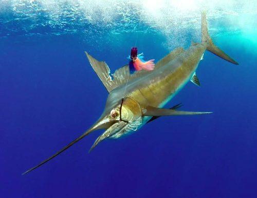 Voilier pris en pêche a la traîne - www.rodfishingclub.com - Ile Rodrigues - Maurice - Océan Indien
